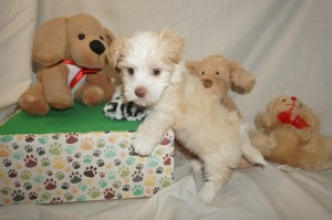 Darla Female Havanese $1750 Ready 3/7 SOLD MY NEW HOME PONTE VEDRA BEACH, FL 2.1 lbs 6W2D Old