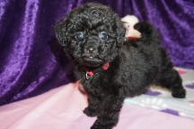 Hallmark Female CKC Mini Labradoodle $2000 Ready 2/10 SOLD MY NEW HOME ST FLEMING ISLAND, FL 1.14lbs 8wks old