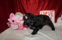 5 Itsy 2.2lbs 8wks old (11)