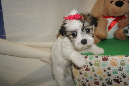 Jill (Hela) Female CKC Havamalt $1750 Ready 3/8 HAS DEPOSIT MY NEW HOME GALLIANO, LA 1.11 LBS old 6W1D Old