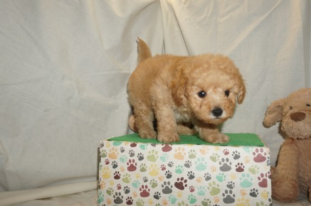 Lambchop Male CKC Mini Labradoodle $2000 Ready 3/2 SOLD MY NEW HOME JACKSONVILLE, FL 2.1lbs 6W3D old
