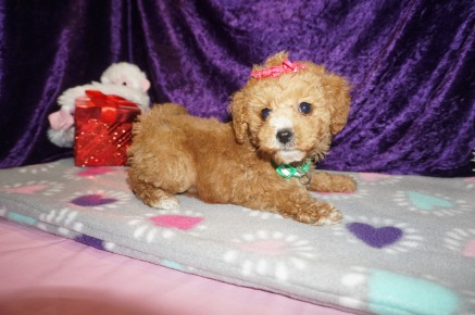 ROSE Female CKC Mini Labradoodle $2000 Ready 2/10 SOLD MY NEW HOME FB, FL 2.1lbs 8wks old
