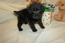 Ziva Female CKC Schnoodle $1750 Ready 3/8 HAS DEPOSIT MY NEW HOME JACKSONVILLE, FL 2 lbs 6W1D Old