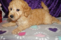 Cupid Male CKC Mini Labradoodle $2000 Ready 2/10 HAS DEPOSIT MY NEW HOME JACKSONVILLE, FL 3.13lbs 8wks old