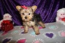 Olive Female CKC Yorkie $2000 Ready HAS DEPOSIT MY NEW HOME ORLANDO, FL 8wk5d old