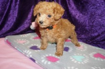 Snookums Male CKC Mini Labradoodle $2000 Ready 2/10 SOLD Santa Rose Beach, FL 1.13lbs 8wks old