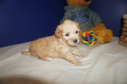 Angel Female CKC Maltipoo $2000 Ready 3/30 HAS DEPOSIT HAS DEPOSIT MY NEW HOME HILLIARD, FL1.4 lbs 4W2D Old