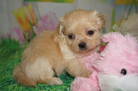 Biscuit Male CKC Miki $2000 Ready 4/6 HAS DEPOSIT MY NEW HOME RICHMOND, RI 15.5 lbs 5 wks old