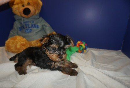 Fonsie Male CKC Morkie $2000 Ready 2/20 SOLD MY NEW HOME ST JOHNSBURY V.T. 1.12 lbs 9W3D old