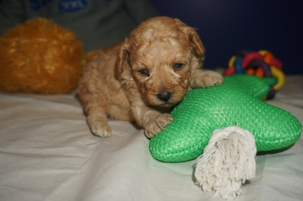 Lilo Female CKC Mini Labradoodle $2000 Ready 4/6 HAS DEPOSIT MY NEW HOME IS JACKSONVILLE, FL 1.3 lbs 3 weeks Old