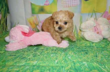 Oliver Female CKC Yorkipoo $1750 Ready 3/31 SOLD MY NEW HOME NEW BRITAIN, CT 1.5 lbs 6W2D OLd