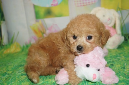 Peter Pan Male CKC Shihpoo $2000 Ready 3/30 SOLD MY NEW HOME VERO BEACH, FL 2.3 lbs 6 wks old