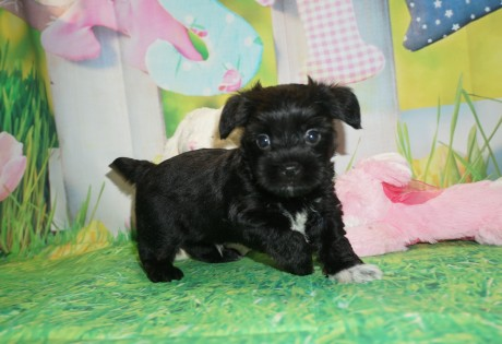 Prince Charles Male CKC Shorkie $1750 Ready 4/6 HAS DEPOSIT MY NEW HOME ORANGE PARK, FL 2.4 lbs 5W2D Old