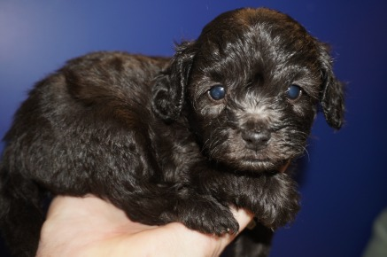 Scamp Male CKC Maltipoo $1750 Ready 3/30 HAS DEPOSIT MY NEW HOME FLEMING ISLAND, FL 1.1 lbs 4W2D Old