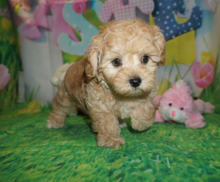 Silas Male CKC Morkipoo $1750 Ready 3/21 SOLD MY NEW HOME JACKSONVILLE, FL 2.12 LBS 7W5D Old
