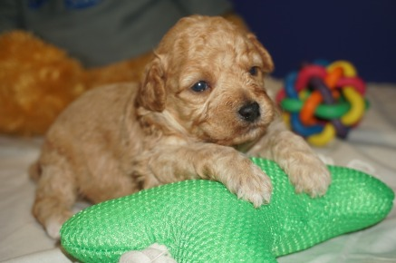 Stitch Male CKC Mini Labradoodle $2000 Ready 4/6 HAS DEPOSIT MY NEW HOME SANTA ROSE BEACH, FL 1.7 lbs 3 weeks Old