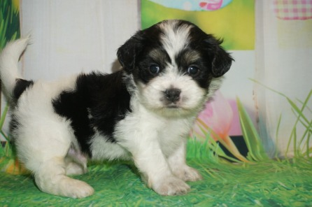 Tex Male CKC Shichon Teddy Bear $1750 Ready 4/13 HAS DEPOSIT MY NEW HOME ST JOHNS, FL 1.15 lbs 4W1D Old