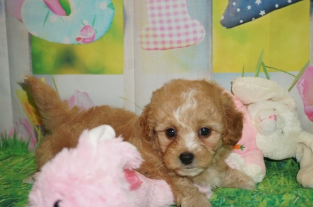 Tinker Belle Female CKC Shihpoo $2000 Ready 3/30 HAS DEPOSIT MY NEW HOME OLD BETHPAGE, NY 2.7 lbs 6 wks old