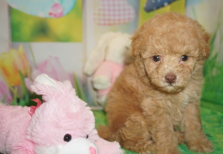 Tramp Male CKC Maltipoo $2000 Ready 3/30 HAS DEPOSIT MY NEW HOME KINGSLAND, GA 1.6 lbs 6 wks old