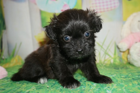 Twinkie Male CKC Miki $2000 Ready 4/6 HAS DEPOSIT MY NEW HOME CHELTENHAM, PA 1.15 lbs 5 wks old
