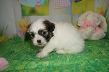 Arizona Female CKC Teddy Bear $1750 Ready 4/13 HAS DEPOSIT MY NEW HOME THE VILLAGES, FL 1.11 lbs 4W1D Old