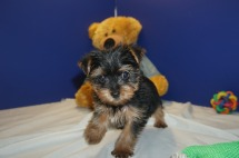 Finn Male CKC Morkie $2000 NOW $1750 Ready 2/20 SOLD MY NEW HOME JACKSONVILLE, FL 2.1 lbs 9W3D old