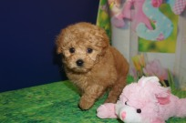 Nana Female CKC Shihpoo $2000 Ready 3/30 SOLD MY NEW HOME JACKSONVILLE, FL 2.2 lbs 6 wks old