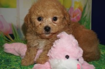Peter Pan Male CKC Shihpoo $2000 Ready 3/30 HAS DEPOSIT MY NEW HOME VERO BEACH, FL 2.3 lbs 6 wks old