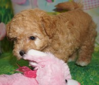 Shiloh Female CKC Morkipoo $2000 Ready 3/21 HAS DEPOSIT MY NEW HOME JACKSONVILLE, FL 2.13 lbs 7W5D Old