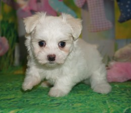 Sugar Female CKC Havamalt $1750 Ready 3/30 HAS DEPOSIT MY NEW HOME MELBOURNE, FL 1.14 lbs 6W1D Old