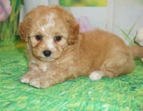 Tinker Belle Female CKC Shihpoo $2000 Ready 3/30 SOLD MY NEW HOME OLD BETHPAGE, NY 2.7 lbs 6 wks old