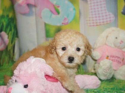 Angel Female CKC Maltipoo $2000 Ready 3/30 HAS DEPOSIT HAS DEPOSIT MY NEW HOME Waycross, GA 1.6 lbs 6 wks old