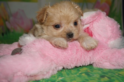 Honey Bun Female CKC Miki $2000 Ready 4/6 HAS DEPOSIT MOUNT GILEAD, OH 15.5 oz 5 wks old