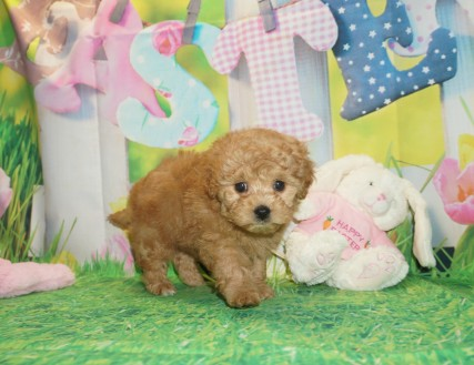Nana Female CKC Shihpoo $2000 Ready 3/30 HAS DEPOSIT MY NEW HOME JACKSONVILLE, FL 2.2 lbs 6 wks old
