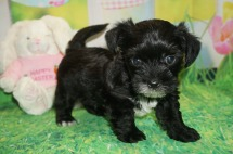 Prince Williams Male CKC Shorkie $1750 Ready 4/6 HAS DEPOSIT MY NEW HOME HILLIARD, FL 1.14 lbs 5W2D Old