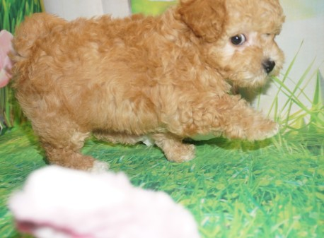 Shiloh Female CKC Morkipoo $2000 Ready 3/21 SOLD MY NEW HOME JACKSONVILLE, FL 2.13 lbs 7W5D Old