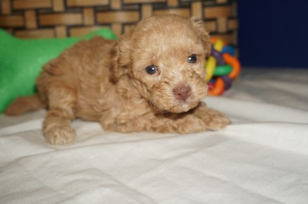 Tramp Male CKC Maltipoo $2000 Ready 3/30 HAS DEPOSIT MY NEW HOME KINGSLAND, GA 1.5 lbs 4W2D Old