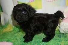 Eric Male CKC Morkipoo $1750 Ready 4/3 HAS DEPOSIT MY NEW HOME MacCLENNY, FL 1.12 lbs 6 WKS Old