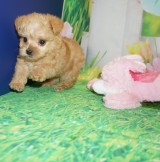 Oliver Female CKC Yorkipoo $1750 Ready 3/31 HAS DEPOSIT MY NEW HOME NEW BRITAIN, CT 1.5 lbs 6W2D OLd