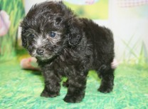 Scamp Male CKC Maltipoo $1750 Ready 3/30 HAS DEPOSIT MY NEW HOME FLEMING ISLAND, FL 1 lb 5oz 6 wks old