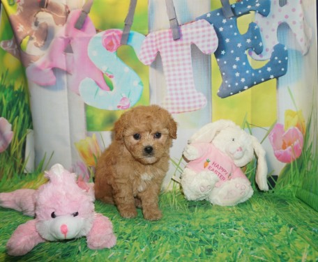 Wendy Female CKC Shihpoo $2000 Ready 3/30 HAS DEPOSIT! My new home is in Jacksonville, FL 2.2 lbs 6 wks old
