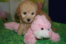 Angel Female CKC Maltipoo $2000 Ready 3/30 SOLD MY NEW HOME Waycross, GA 1.6 lbs 6 wks old
