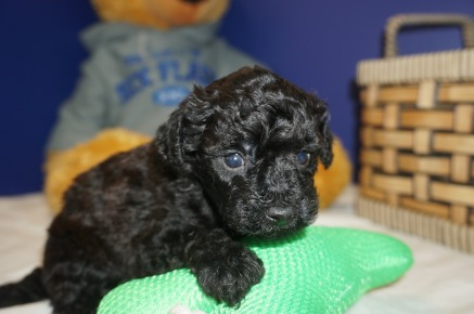 Lady Female CKC Maltipoo $1750 Ready 3/30 HAS DEPOSIT MY NEW HOME ORLANDO, FL 1.1 LBS 4W2D Old