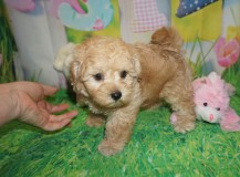 Silas Male CKC Morkipoo $1750 Ready 3/21 HAS DEPOSIT MY NEW HOME JACKSONVILLE, FL 2.12 LBS 7W5D Old
