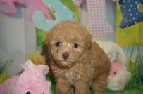 Tramp Male CKC Maltipoo $2000 Ready 3/30 SOLD MY NEW HOME KINGSLAND, GA 1.6 lbs 6 wks old