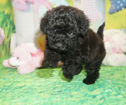 Lady Female CKC Maltipoo $1750 Ready 3/30 SOLD MY NEW HOME ORLANDO, FL 1.6 lbs 6 wks old