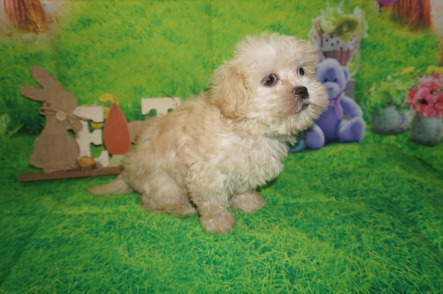 Ariel Female CKC Morkipoo $1500 Ready 4/3 HAS DEPOSIT MY NEW JACKSONVILLE, FL 2.2 lbs 7W6D Old