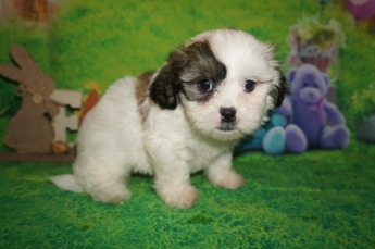 Bama Male CKC Shichon Teddy Bear $1750 Ready 4/13 HAS DEPOSIT MY NEW HOME ORANGE PARK, FL 3 lbs 6W2D Old