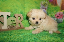 Biscuit Male CKC Miki $2000 Ready 4/6 HAS DEPOSIT MY NEW HOME RICHMOND, RI 1.8 lbs 7 wks old