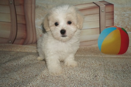 Bonita Female Havanese $1750 Ready 6/29 SOLD MY NEW HOME JACKSONVILLE, FL 2.11 lbs 8W2D Old